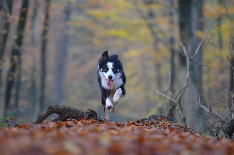 Dog running in woods Canicross Run Mummy Run